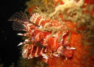 זהורית מצויה, a fish found in the shallow coast of ארץ ישראל